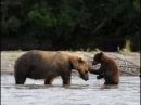 Медведица спасает медвежонка с дерева