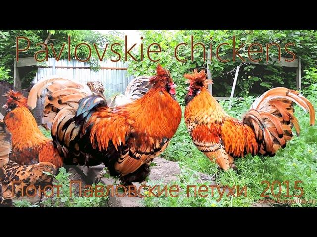ПОЮТ ПАВЛОВСКИЕ ПЕТУХИ ROOSTERS SING Kukareko 21 06 2015