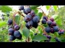Ирга - полезное растение в вашем саду