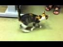 Оскольчатый перелом плеча у котенка после операции