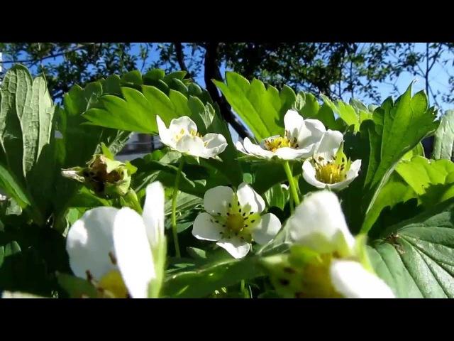 Лето. Цветет клубника. Летают пчелы. Осторожно, клип поднимает настроение!!