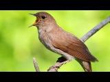 Singing nightingale. Thrush nightingale. Luscinia luscinia.