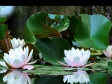 Три белых лилии  ... Александр Айвазов