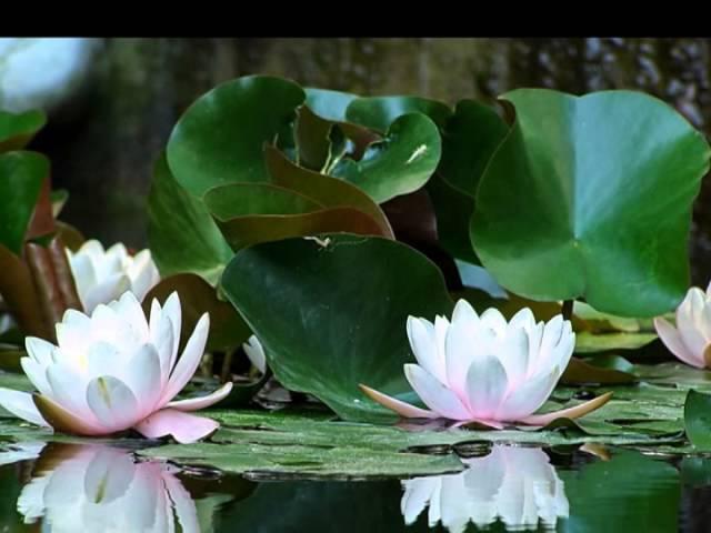 Три белых лилии Александр Айвазов