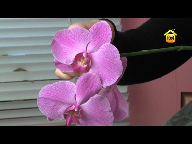 Орхидеи. Покупка, уход, пересадка FORUMHOUSE