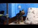 Самый умный пёс в мире, йоркширский терьер Мартик. (Команда выключи свет)