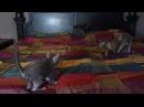 Lykoi Kitten Bedtime....Or Not...