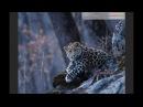 3D постер (стерео варио) Детеныш дальневосточного леопарда (фото Валерия Малеева)
