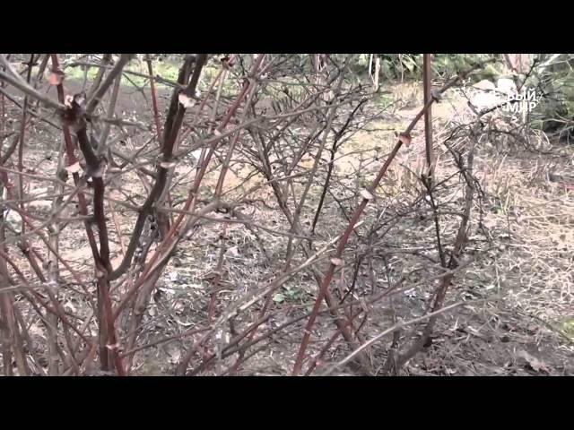 Обрезка жимолости весной. Уход за жимолостью. Сайт Садовый мир
