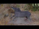 Леопард борется с бородавочником
