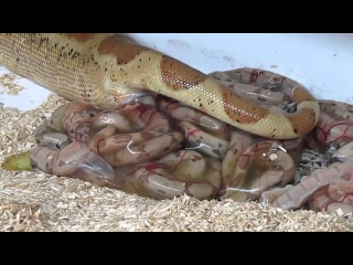 как змея рожает жесть!