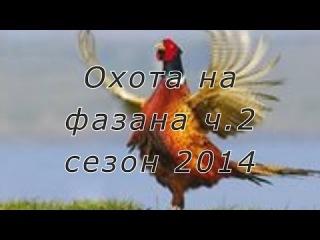 Охота на фазана с легавыми (дратхаарами) на Юге России. Сезон 2014г. Часть 2.