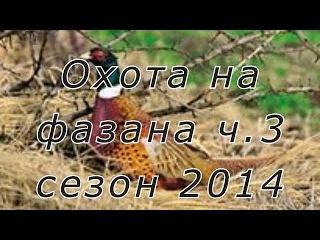 Охота на фазана с легавыми (дратхаарами) на Юге России. Сезон 2014г. Ч.3