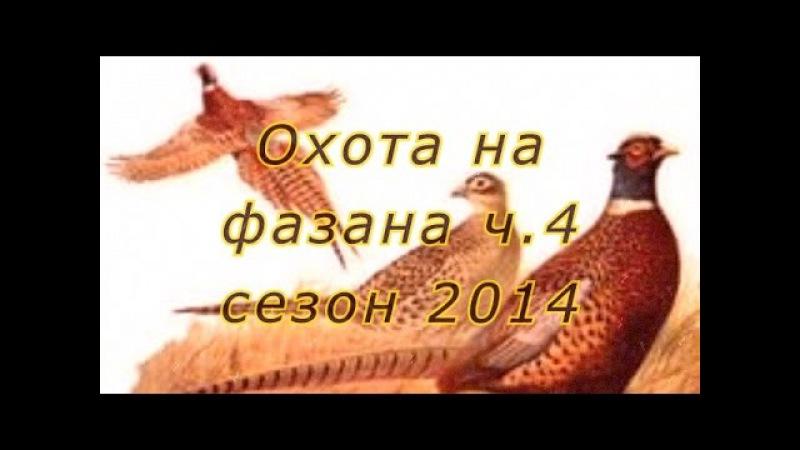 Охота на фазана с легавыми (дратхаарами) на Юге России. 2014 г. Ч.4