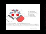 14. Поперечный срез среднего мозга pptx