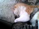 Дагестанские коты - борцы