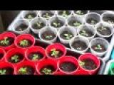 Посадка и вырыщивание петуний. Уход по стадиям развития (Часть 7)