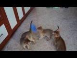 котята абиссинские Funny Cats Abyssinian