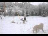 Дикий койот и собака борются за мясо оленя