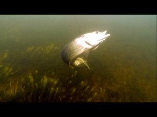 Fishing: pike attacks CrackJack lure underwater. Рыбалка: атака щуки на воблер.