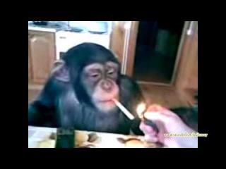 Смешные обезьяны подборка №11 (накурили обезьянку)