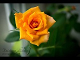 #TinaTrue | УХОД, ПЕРЕСАДКА, РАЗМНОЖЕНИЕ (ДОМАШНИХ) КОМНАТНЫХ РОЗ