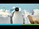 Почему пингвины не мерзнут босиком?