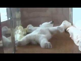 Polar bear cub trying to get comfy