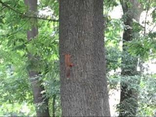 2012 -Прикол!!! Пьяная белка зажигает.drunk squirrel.