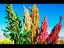 Странные злаки древних Инков.(кинва,просо,овес облепиха,ирга,земляника )Пища богов