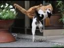 Боевые коты! Нападение кошек на собак, нападение на людей! Агрессивные кошки!