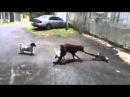 Doberman attack iguana