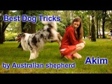 The most amazing dog tricks by Australian shepherd Akim
