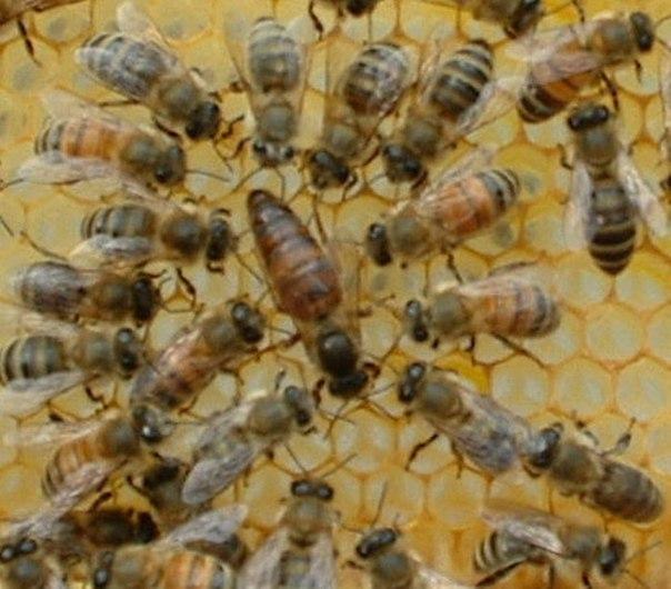 Вывод Пчелиных Маток Практическое Руководство - autocd