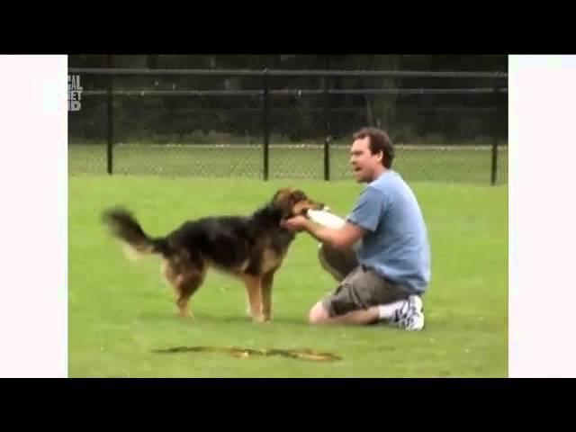 Австралийская овчарка в программе Dogs 101 Animal Planet