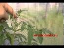 Томаты помидоры Формирование томатов, пасынкование