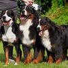 ●•●•●SPLENDID THREE COLOR питомник собак ●•●•