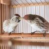 Певчие лесные зерноядные птицы, Новосибирск