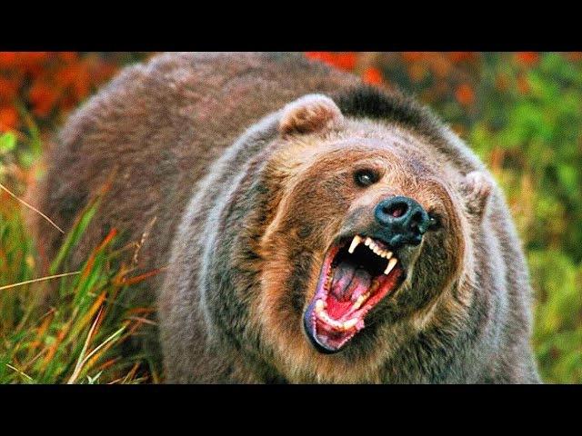 Медведь-людоед растерзал жертву и съел мозг. Медведь напал на семейную пару в лесу