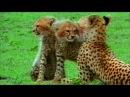 Живая энциклопедия Львы Гепарды Леопарды Гиены
