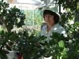 Денежное дерево.  Как правильно поливать,когда удобрять и прищипывать денежное дерево.