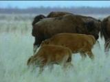 Жизнь животных. Плотоядные.Волк