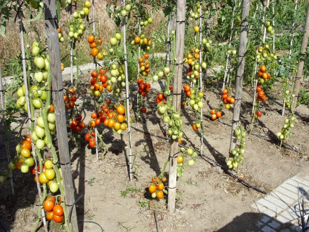 листья томата
