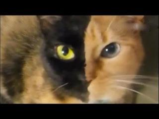 Кошка химера. Необычная двуликая кошка-химера! / Самые странные в мире животные