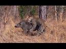 Леопард 20 минут борется с бородавочником