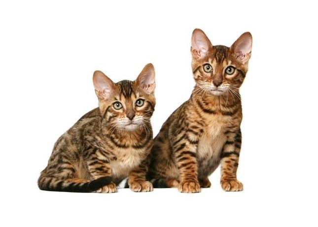 Характер, уход и питание калифорнийской сияющей кошки