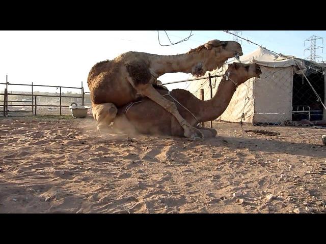 Спаривание верблюдов