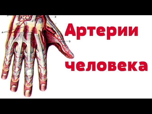 Видео-урок по анатомии. Артерии человека dbltj-ehjr gj fyfnjvbb. fhnthbb xtkjdtrf