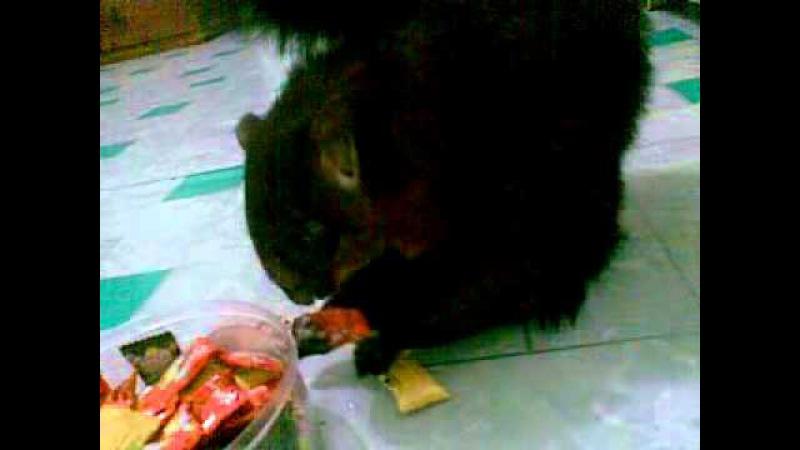 Petaurista makan permen