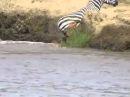 Нильские крокодилы разорвали зебру